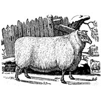 Leicestershire Sheep